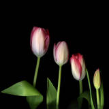 Family of Cut Tulips (Tulipa) on Black Background Photographic Print by Magda Indigo