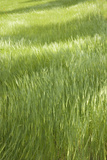 Lush Green Grass in Meadow Photographic Print by Kim Sayer