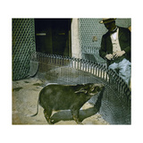 A Red River Hog (Kind of Wild Pig) at the Jardin D'Acclimatation, Paris (XVIth Arrondissement) Photographic Print by Levy et Fils, Leon