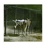Donkeys in the Jardin Des Plantes, Paris (Vth Arrondissement), Circa 1890-1895 Photographic Print by Levy et Fils, Leon