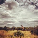 Giraffe Photographic Print by by Nada Stankova Photography