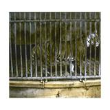 Royal Tiger at the Jardin Des Plantes, Paris (Vth Arrondissement), Circa 1895-1900 Reprodukcja zdjęcia autor Levy et Fils,  Leon