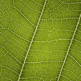 Leaf Veins Connecting Photographic Print by Gregor Schuster