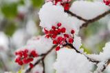 Snow Caped Holly Photographic Print by  I.Hirama