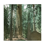 United States (California), a Giant Tree in the Mariposa Grove in the Yosemite Valley Photographic Print by Levy et Fils, Leon