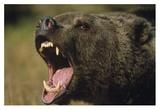Grizzly Bear calling, North America Láminas por Tim Fitzharris