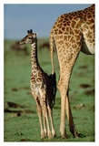 Giraffe mother with young, Kenya Art by Tim Fitzharris
