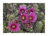 Hedgehog Cactus flowering, Arizona Poster by Tim Fitzharris