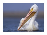 American White Pelican North America Prints by Tim Fitzharris