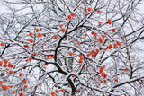 Snow and a Persimmon Tree Photographic Print by Koichi Watanabe