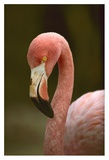 Greater Flamingo, Caribbean Prints by Tim Fitzharris