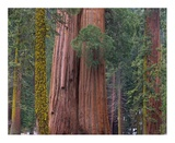 Giant Sequoia trees, California Prints by Tim Fitzharris