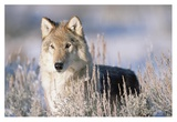 Timber Wolf portrait, North America Prints by Tim Fitzharris