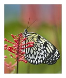 Paper Kite butterfly, native to Asia Posters by Tim Fitzharris