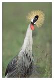 Grey Crowned Crane, Kenya Plakaty autor Tim Fitzharris