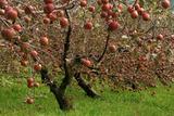 Apple Tree Photographic Print by Copyright of Eason Lin Ladaga