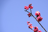 Red Plum Blossoms and Blue Sky, Nara Prefecture Photographic Print by Akira Sakamoto/Aflo