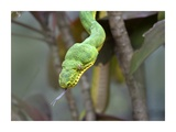 Emerald Tree Boa in tree, Costa Rica Posters by Tim Fitzharris