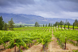 View of a Vineyard in California Photographic Print by Mel Curtis