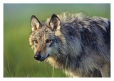 Gray Wolf, native to North America Posters by Tim Fitzharris