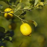 Lemons on Lemon Tree Photographic Print by Ken Welsh