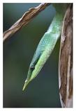Rhinoceros Snake in tree, Costa Rica Posters by Tim Fitzharris