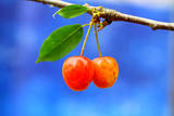 A Pair of Cherries Riperning on a Tree in Summer Photographic Print by Martial Colomb