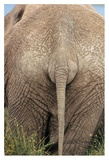 African Elephant butt, Africa Poster by Tim Fitzharris