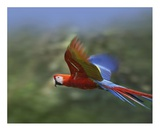 Scarlet Macaw flying, Costa Rica Prints by Tim Fitzharris