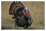 Wild Turkey male, North America Prints by Tim Fitzharris