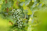 Green Grapes Hanging on a Vine in Summer Photographic Print by Billy Hustace