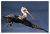 Brown Pelican flying, California Posters by Tim Fitzharris