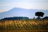 The Ventoux Mount and Wine AOC Vineyards Fotografisk tryk af P. Eoche
