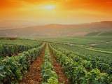 France,Champagne Vineyards near Epernay,Sunset Photographic Print by Images Etc Ltd