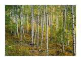 Aspen forest, Colorado Prints by Tim Fitzharris