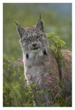 Canada Lynx portrait, North America Art by Tim Fitzharris