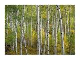 Aspen trees in fall, Colorado Prints by Tim Fitzharris