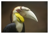 Wreathed Hornbill male, Malaysia Posters by Tim Fitzharris