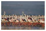 Greater Flamingo and Lesser Flamingo flock in a mass courtship dance, Lake Nakuru, Kenya Posters by Tim Fitzharris