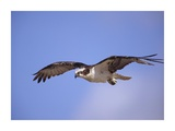Osprey flying, North America Art by Tim Fitzharris