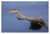 Great Blue Heron flying, North America Poster by Tim Fitzharris