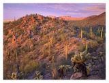 Panther and Safford Peaks covered with Saguaro and Teddybear Cholla, Saguaro National Park, Arizona Prints by Tim Fitzharris