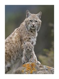 Bobcat mother and kitten, North America Posters by Tim Fitzharris