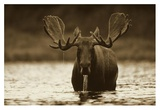 Moose male raising its head while feeding on the bottom of a lake, North America Posters by Tim Fitzharris