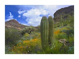 Saguaro amid flowering Lupine, Organ Pipe Cactus National Monument, Arizona Art by Tim Fitzharris