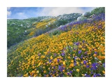 California Poppy and Desert Bluebell flowers, Canyon Hills, Santa Ana Mountains, California Art by Tim Fitzharris