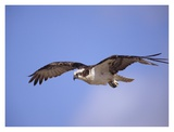 Osprey flying, North America Posters par Tim Fitzharris