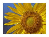 Common Sunflower flower, North America Prints by Tim Fitzharris