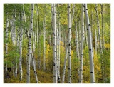 Aspen trees in fall, Colorado Print by Tim Fitzharris