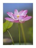 Sacred Lotus flower, native to Asia Prints by Tim Fitzharris